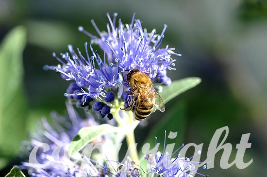 Biene, Westliche Honigbiene