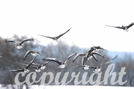 Graugänse fliegen auf nach winterlichem Äsen auf verschneitem