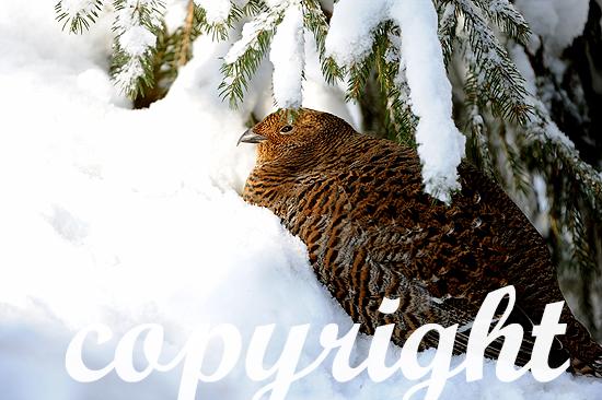 Birkhenne im verschneiten Wald