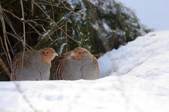 Rebhühner