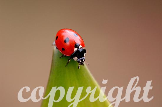 Marienkäfer, Coccinellidae,