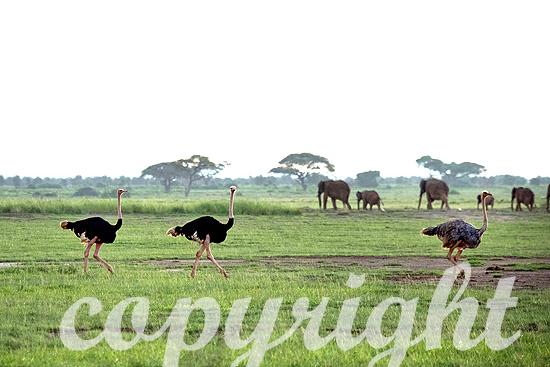Strauß, afrikanischer