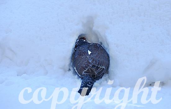 Auerhahn im Winter