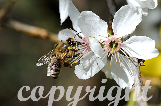 Blüten und Bienen