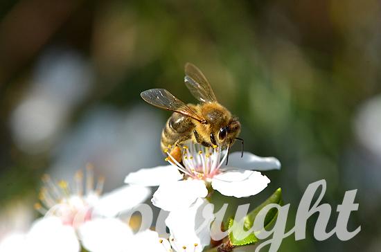 Westliche Honigbiene