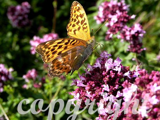 Diestelfalter im Sommer auf einer blühenden Feldblume