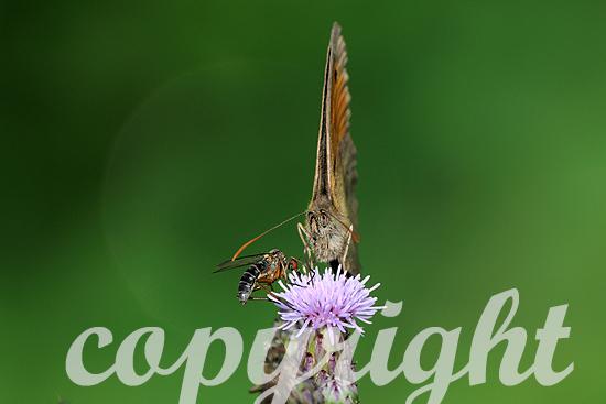 Kleine Heufalter, Coenonympha pamphilus
