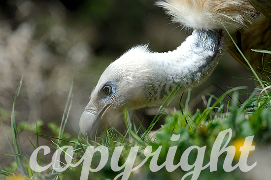 Weißrückengeier