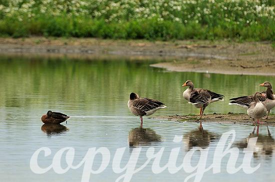 Graugänse im Sommer im Wasser stehend