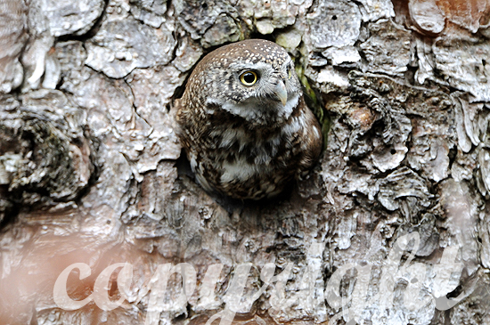 Sperlingskauz - Glaucidium passerinum