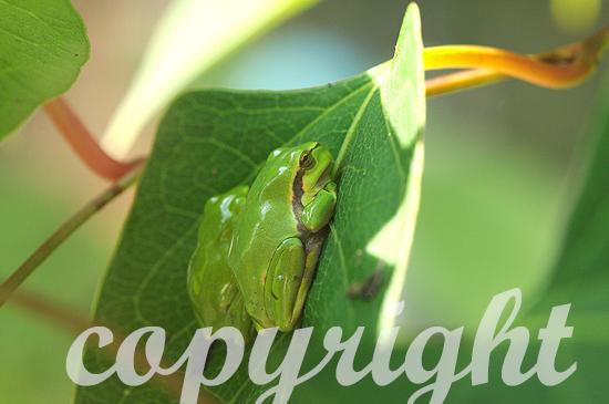 Laubfrosch im Sommer auf der Jagd nach Insekten