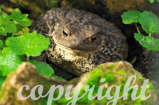 Erdkröte im Sommer in feuchtem Versteck