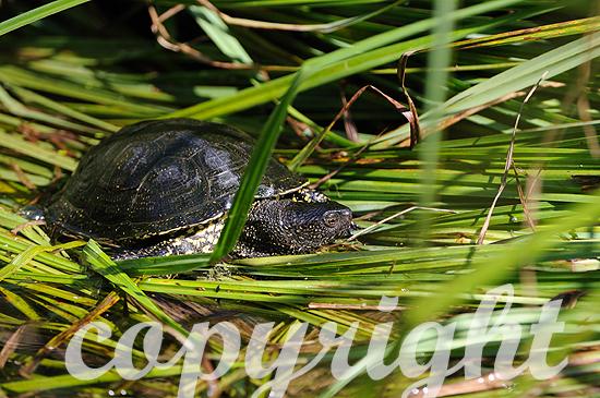 Europäische Sumpfschildkröte im Schilf