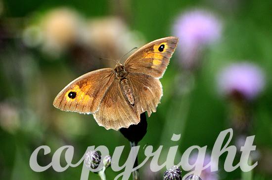 Große Ochsenauge, Maniola jurtina, ist ein Schmetterling aus de
