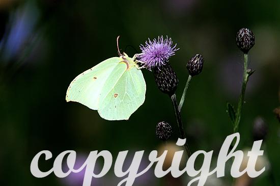 Zitronenfalter,  Gonepteryx rhamni,