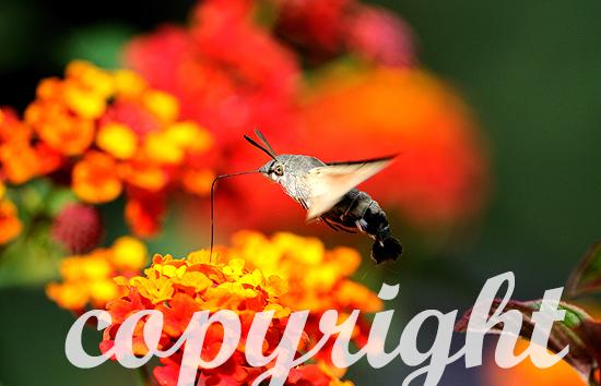 Taubenschwänzchen, Macroglossum stellatarum