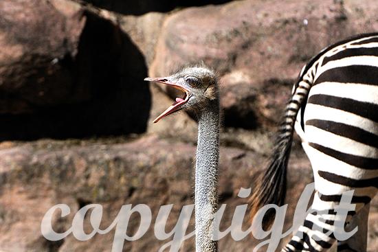 Afrikanische Strauß - Struthio camelus