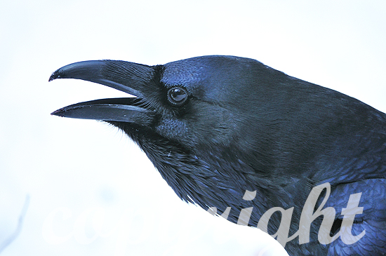 Kolkrabe, Corvus corax,