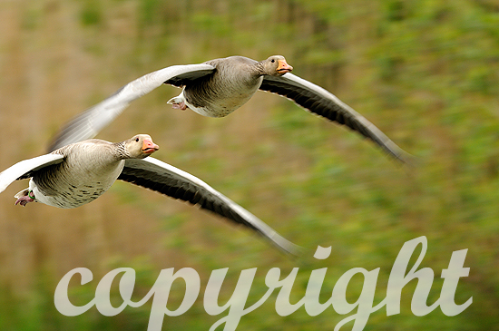 Graugans-Paar im Fluge, Nahaufnahme