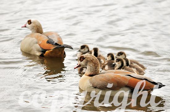 Nilgans-Paar mit Jungen am und auf dem Wasser