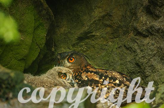 Uhu, Altvogel m. Jungen in Felsenhöhle i. Frühling