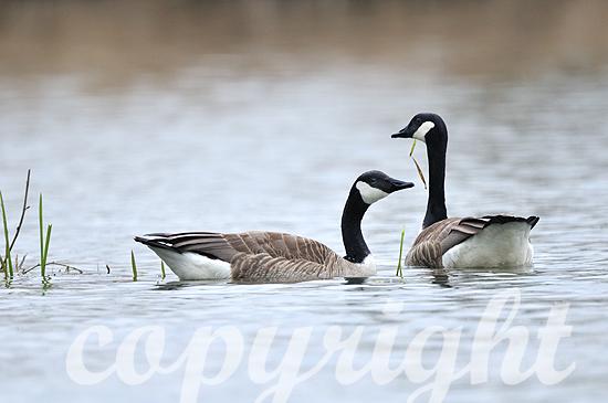 Kanadagans auf dem Wasser im Frühjahr