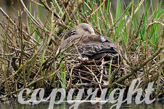 Brütende Graugans auf dem Nest