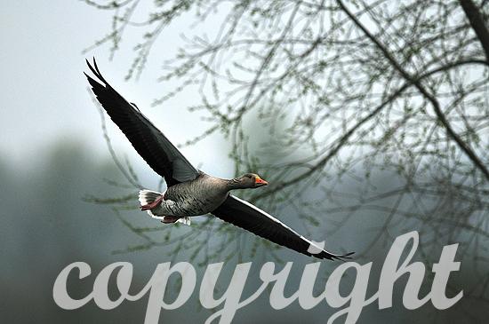 Graugänse im Frühjahr im Flug
