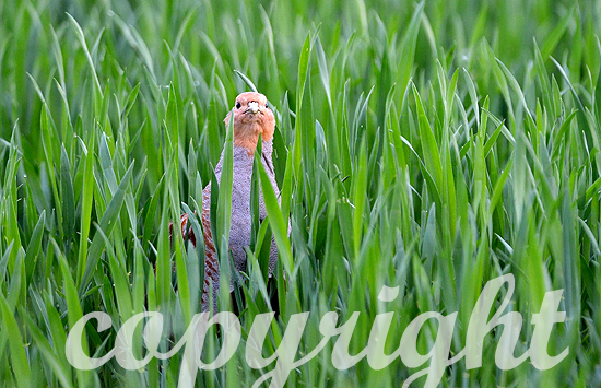 Rebhuhn im frühen Weizen