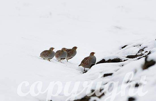 Rebhühner im Winter