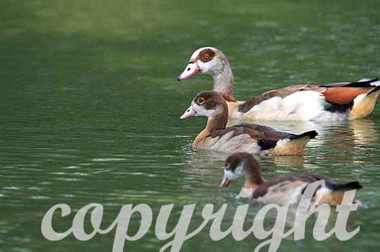 Nilgänse mit Jungen auf dem Wasser