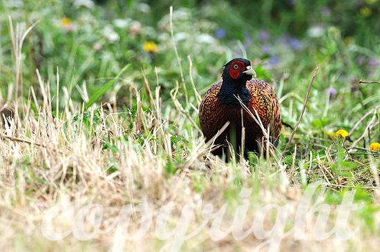 Fasanen-Hahn auf sommerlichen Feld