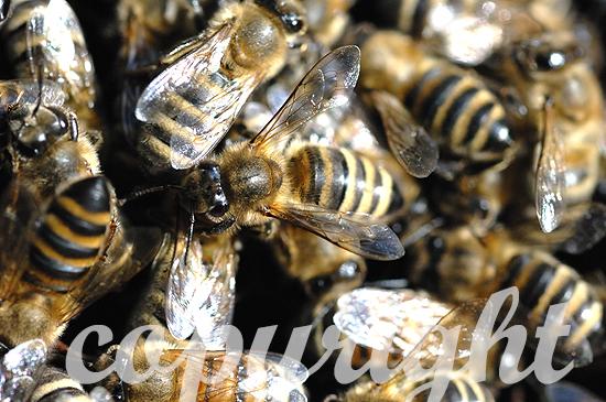 Westliche Honigbiene, Apis mellifera