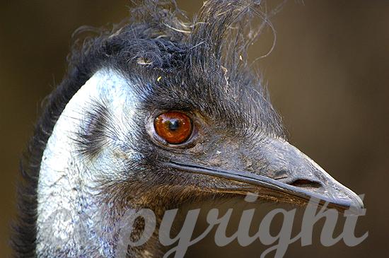 Emu, Dromaius novaehollandiae,