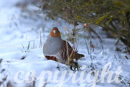 Rebhühner, Rebhuhn im Winter
