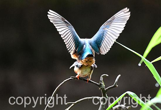 Vögel, Eisvogel, Eisvögel, Paarungsverhalten RB0_2226