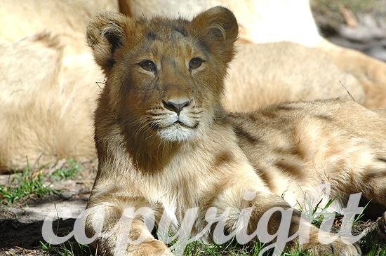 Löwe, asiatischer. - Panthera leo persica
