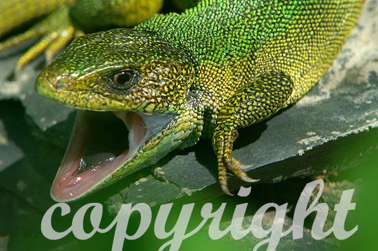 Westliche Smaragdeidechse - Lacerta bilineata