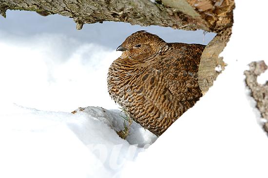 Auerhenne im Winter