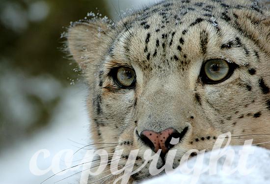 Schneeleopard oder Irbis - Uncia uncia