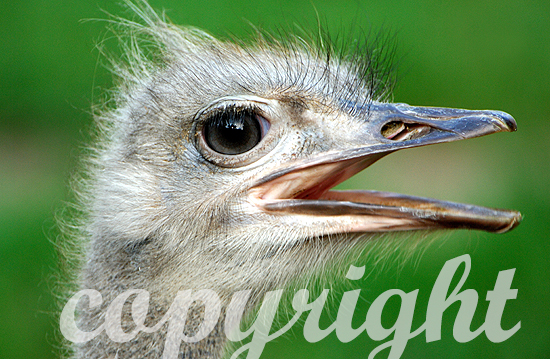 Ausgestorbener Laufvogel