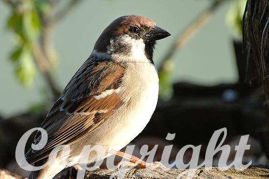 Sperlinge-Passeridae, Feldsperling-Passer montanus
