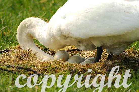 Höckerschwan Anfang Mai beim beginnenden Brutgeschäft