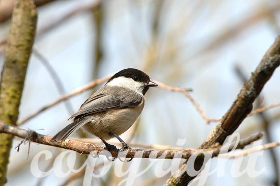 Weidenmeise - Parus montanus