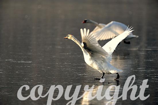 Höckerschwäne fliegen über zugefrorenen See