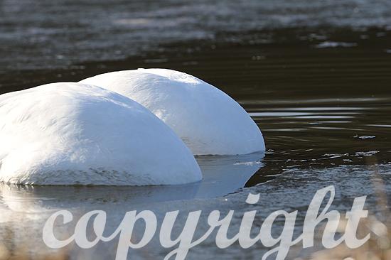 Höckerschwäne auf teilweise vereistem Teich im Februar