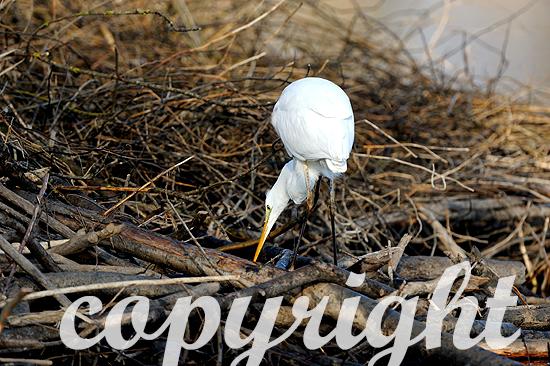 Silberreiher im Spätwinter jagt auf einer Biberburg am Altmühl