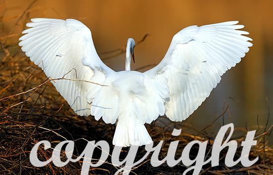 Fliegender Silberreiher im Spätwinter über auf einer Biberburg