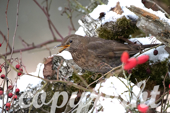 Amsel im Winter