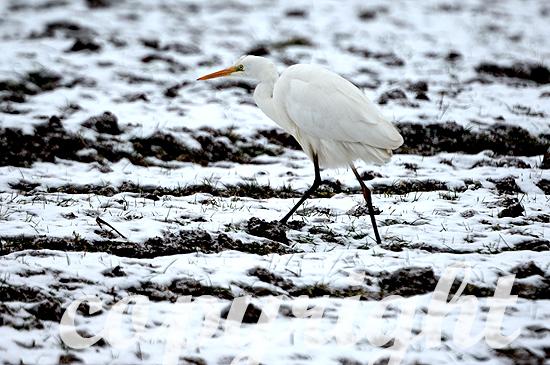Silberreiher im Spätwinter-Schnee auf einem Acker